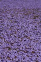Carpet of Flowers by szekley