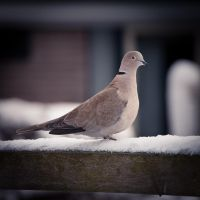 Dove by Dynnnad