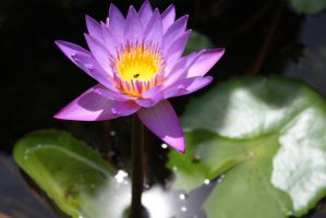 Water lilly 0003 by fa-stock