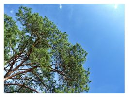 Pine Tree Crown And Blue Sky by Elessar91
