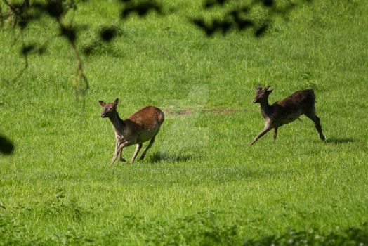 Fallow deers by Luthien42