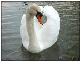 swan 06 by schnegge1984
