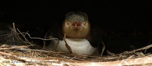 Yellow Eyed Penguin by Shadow-and-Flame-86