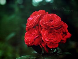 Roses Are Red. by OliverBPhotography