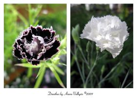 Dianthus by Asura-Valkyrie