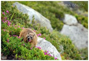 The Dassie by KonikPolski