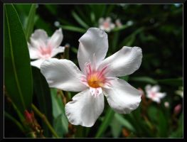 White Oleander. by Anere