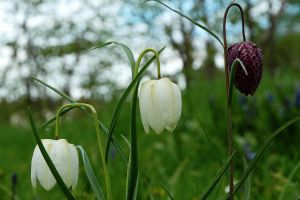La Trio Fritillaria by EarthHart