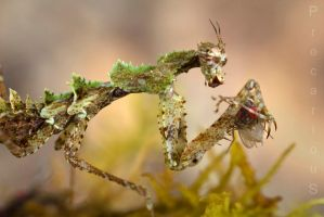 Haania sp. (Moss Mantis) eats f01 by Precarious333