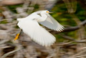 Snowy Egret at Eco Pond by Elijah-Snow