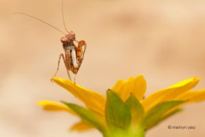 Boxer Mantis 2 by melvynyeo
