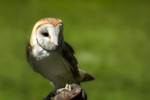 Barn Owl Stock by Alegion-stock