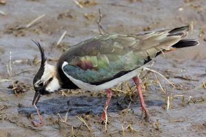Northern Lapwing by RamzisII