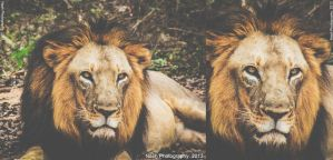 Lion King by Nash-Photography