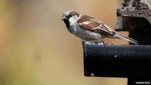good news at last 81890211 Housesparrow-copy by lichtie