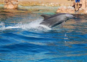 Dolphin jump out tail in water by Chunga-Stock