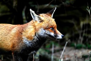 Fox by michael-brown