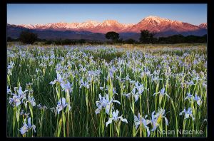 Wild Iris Sierra Sunrise by narmansk8