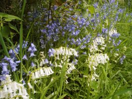 White and Blue Bluebells by darkhoodness