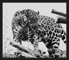jaguar in bw by miezbiez
