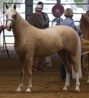 STOCK - 2014 Welsh QLD Show-28 by fillyrox