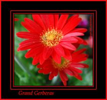 Grand Gerberas by LadyAliceofOz