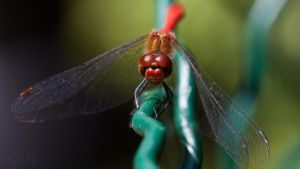 Dragonfly at fence by abuethe