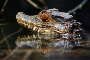Dwarf Caiman by robbobert
