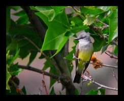 Western Kingbird by swashbuckler