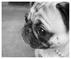Pug Shot: Farley by mutaki