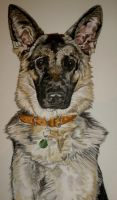 Cassie the Alsatian by xmaryxedgex