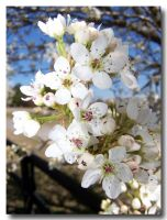 spring tree flowers close up by jenny-in-ga