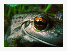 frog by tommont