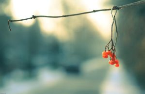 Red berries by Citruspers