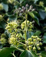 Darling Buds of Ivy by TheBigDaveC