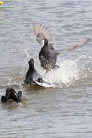 Coot fight - Strike from above by wouterpasschier