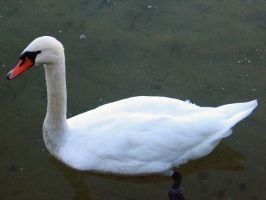 swan1_magnesina by magnesina-stock