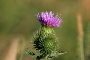 Bull Thistle by olearysfunphotos