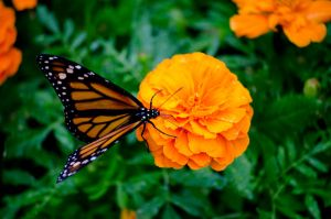 Monarch Butterfly by Cinestress