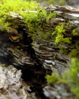 Moss on Tree Bark by alyakmi