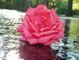 Rose on water by ajackson310