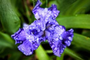 Iris Color by Dilznacka