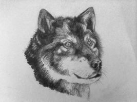 Gray Wolf by line-raptor