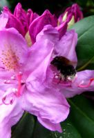 Bumblebee in love with pink by PhilipCapet