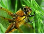 Four Spotted Chaser Close Up by In-the-picture