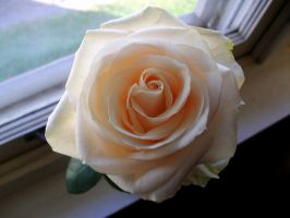 Rose 1 by x3OxyMoron
