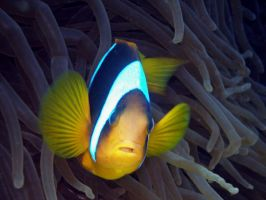 Clown Fish 1 by nathy21
