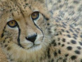 Cheetah by thunderglades