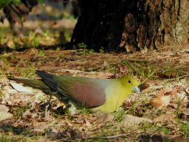 White-bellied green-pigeon (male) by KumaBokko