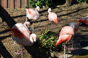 Greater Flamingo 2 by Vesperity-Stock